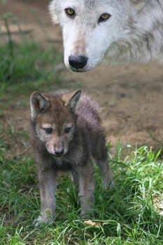 Wolfcub1