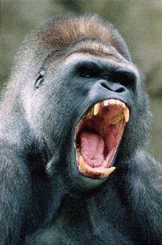 Angry Gorilla (Small)