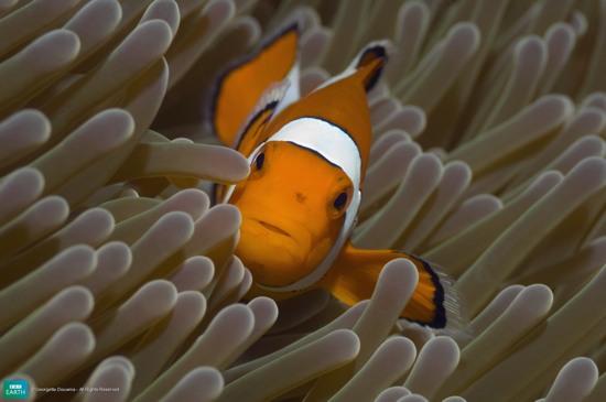 Bbc-Lifeis-Clownfish