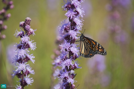 Bbc-Lifeis-Monarchbutterfly