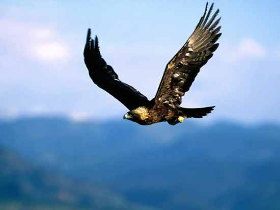 Golden Eagle-Soaring High-1024X768-Bandwidth-Thief