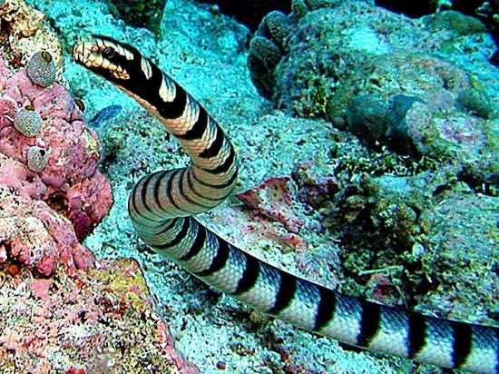 Most-Dangerous-Animal-In-The-Sea-Sea-Snake