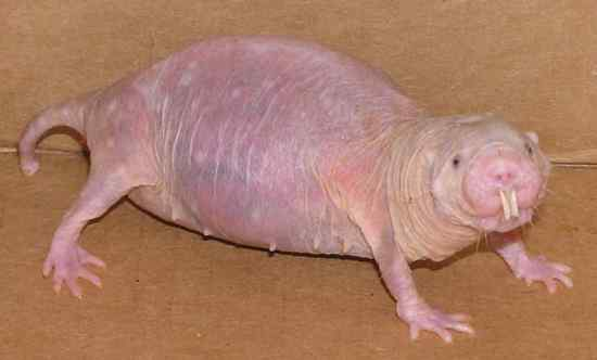 061009 Mole Rat 02