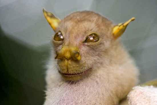 Tube-Nosed-Bat