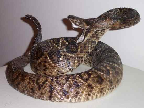 Top 10 Most Venomous Snakes Images - Frompo