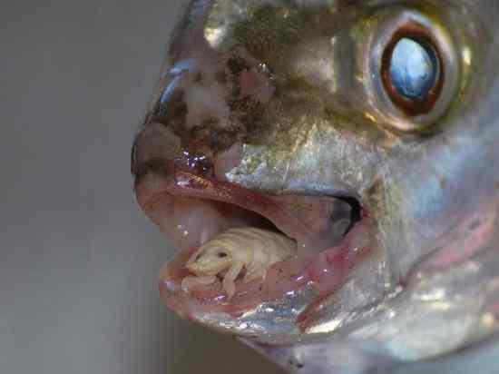 Cymothoa-Exigua-Insect-Parasite-Eats-Fish-Tongue
