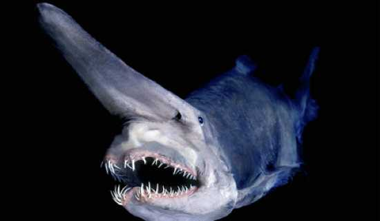 Goblin-Shark-Thumb