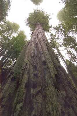 Tallest-Tree-In-The-World
