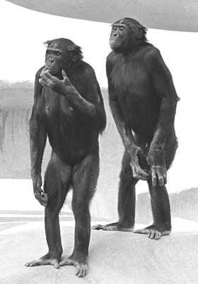2009-10-18-Bonobos Upright