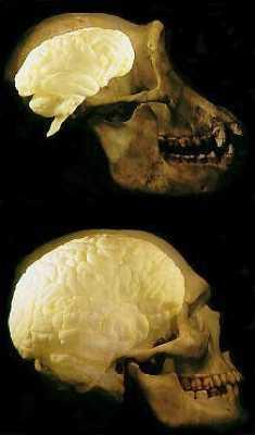 Chimp-Human Brain