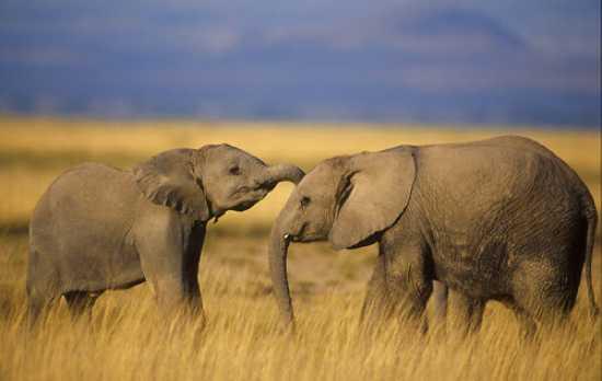 3779 File Elephant2 Balfour