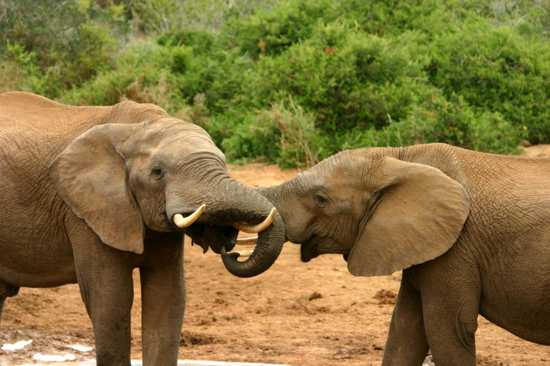 Elephant Mating Ritual