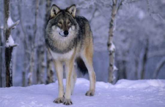 biggest wolf in the world - photo #41