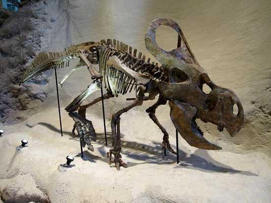 Carnegie Protoceratops Andrewsi