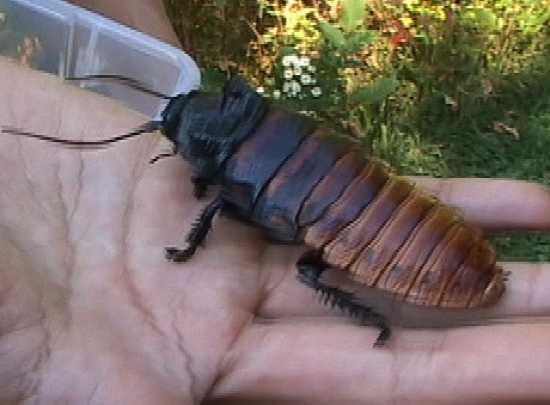 Hissing Cockroach Hand