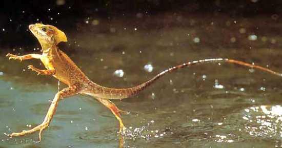 Jesus-Lizard-Running-On-Water-Basilisk