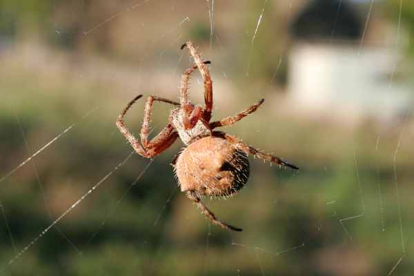 Orb Weaver Spider Day Web03