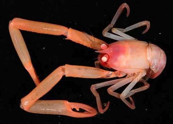 Squat-Lobster Niwa Natgeo