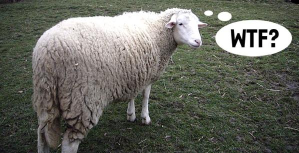27Feb07 Sheep