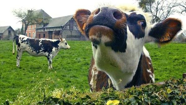 572949-Cow