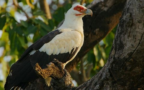 550Px-Palm-Nut Vulturesg