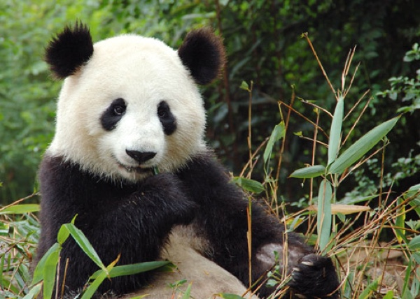 Giant-Panda-China-Big1