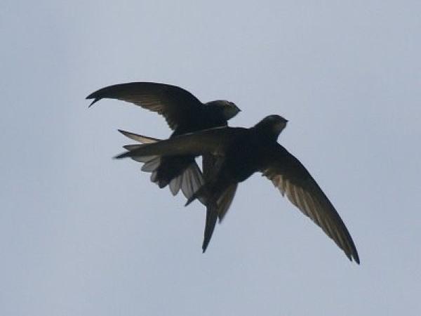 Swiftsonwing