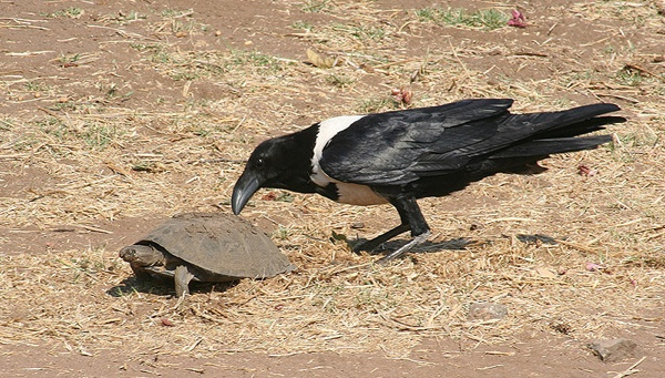 Crow And Pie