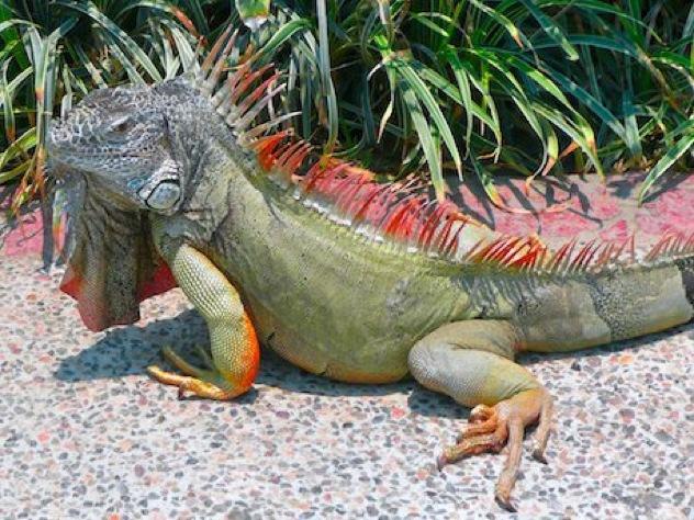 Green Iguana2