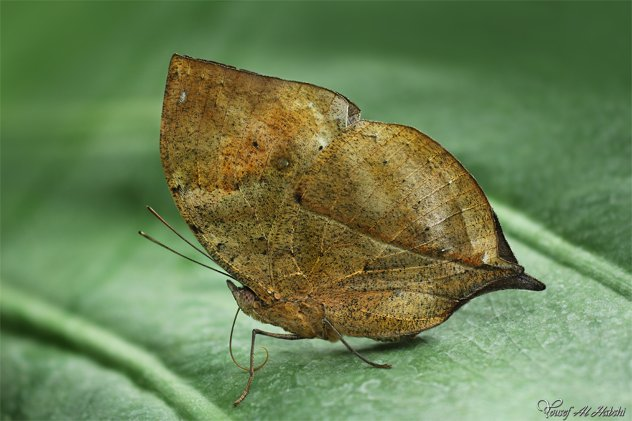 Dead Leaf Butterfly By Alhabshi-D53S941
