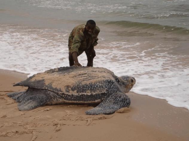 Leatherback Sea Turtle Giant