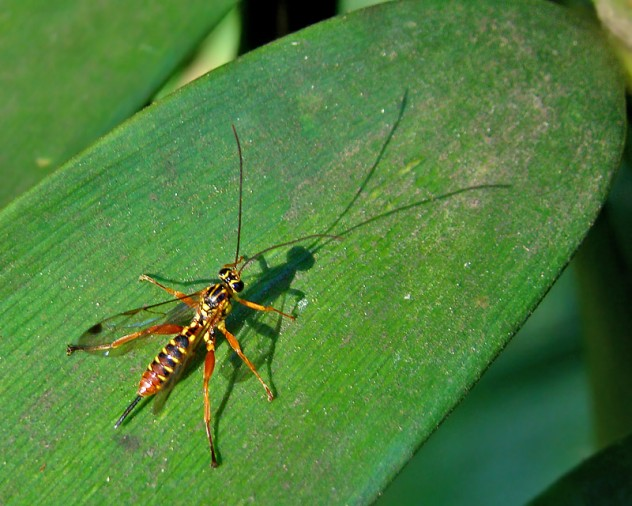 152_parasitic_wasp