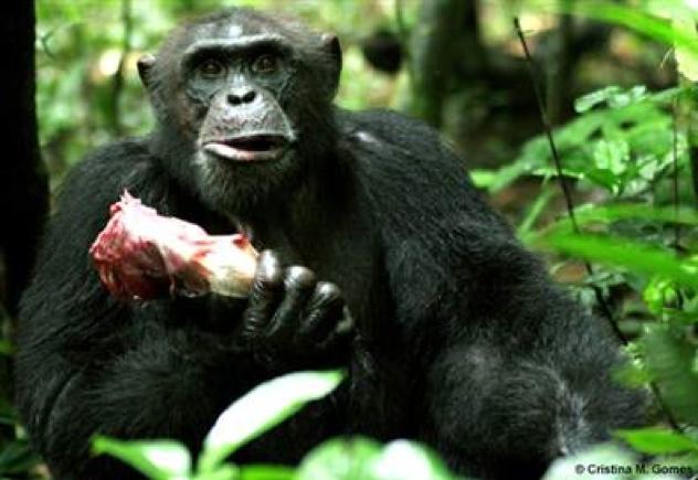 Chimp-Eating-Meat