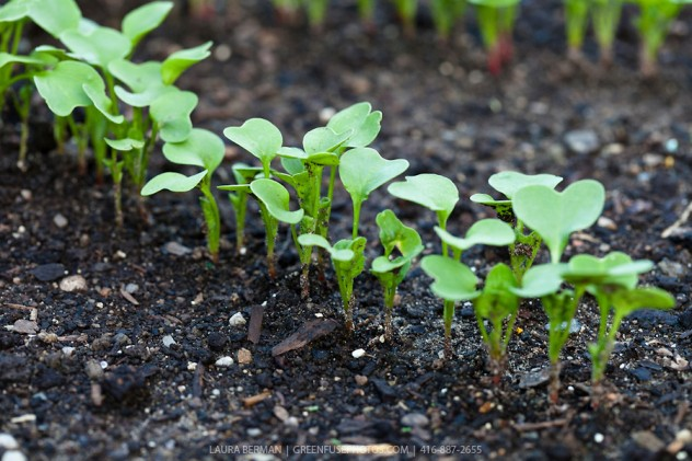 Cherry Belle Radish seedlings