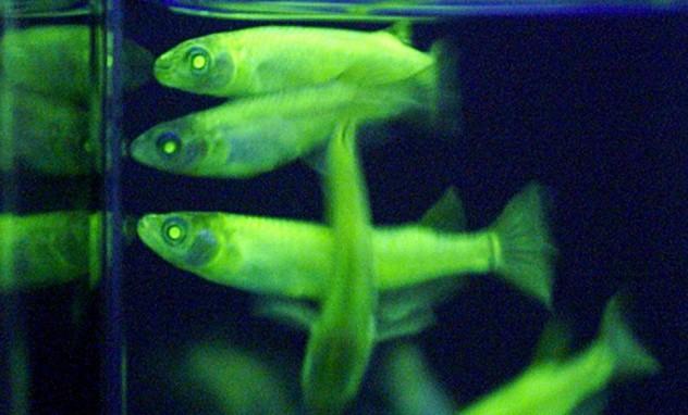 Glowy Glowy Fish Face