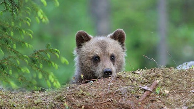 Brown Bear cub peeping out from behind a mound