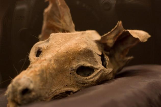 Thylacine_by_Bugdude