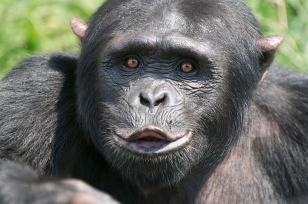 chimpanzee_kiss