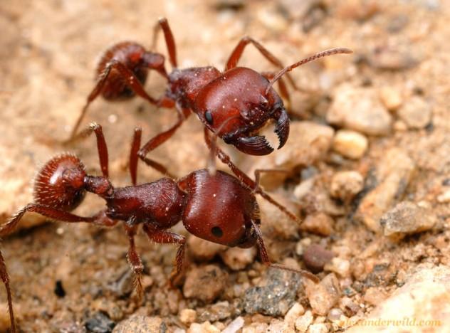 Harvester ants - photo#55