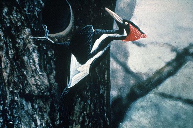 4_1024px-Ivory-billed_Woodpecker_by_Jerry_A._Payne