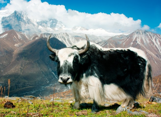 Yak Juxtaposed Against Freedom