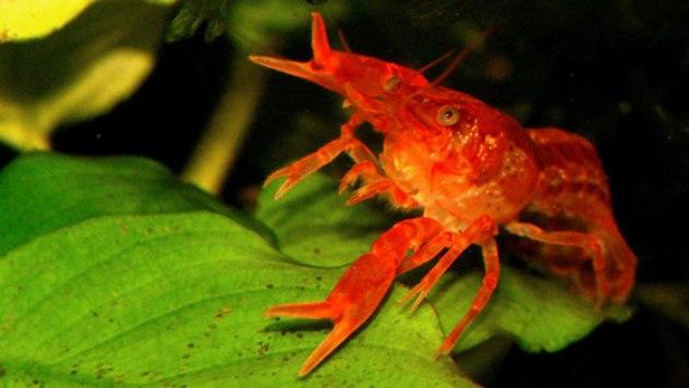 CPO-1-male-on-anubias-leaf-586px