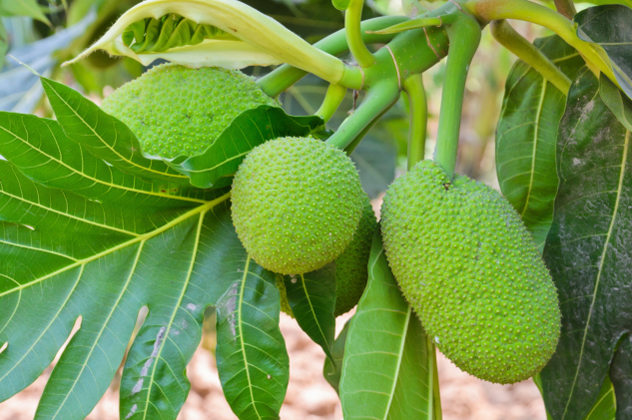 5- breadfruit