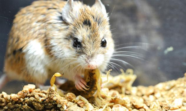 mouse-eat-scorpion
