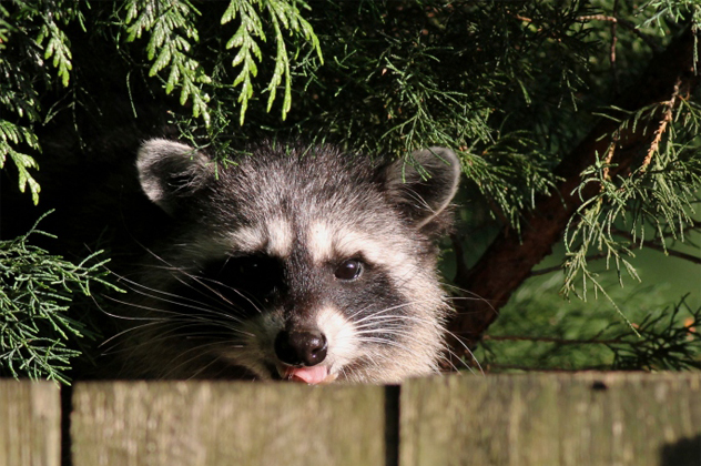 6- coon