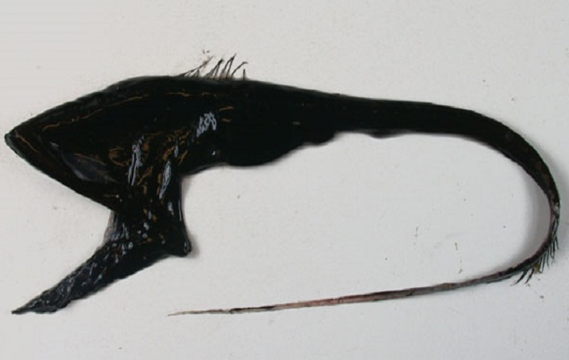 Eurypharynx