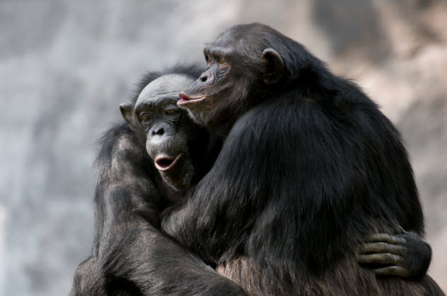1-chimps_000005745380_Small