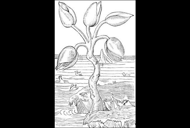5-barnacle-goose-fruit