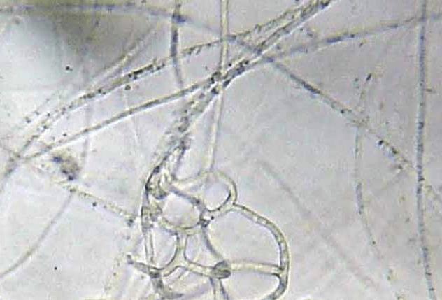 Arthobotrys