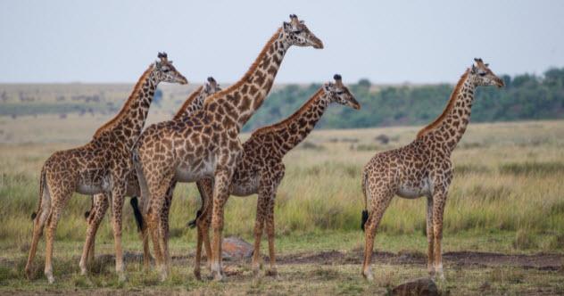 feature-a-3-giraffes_000082975205_Small